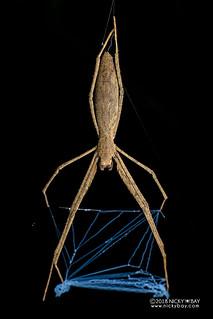 Net-casting spider (Deinopis sp.) - DSC_2950