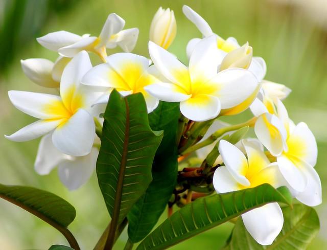 Puerto de la cruz tenerife tiare flower