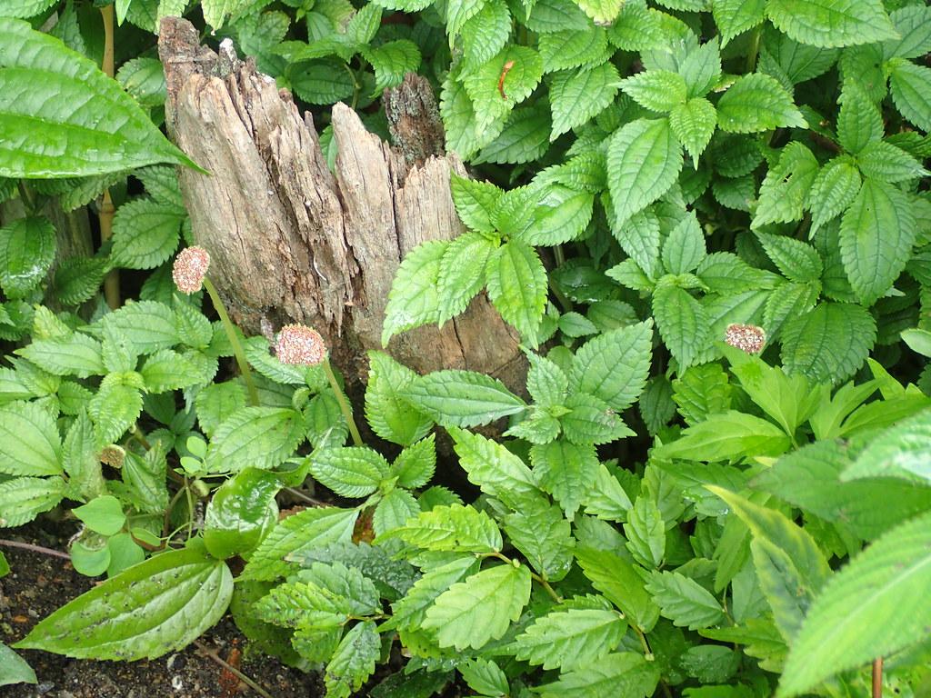 Lecanthus aff. peduncularis
