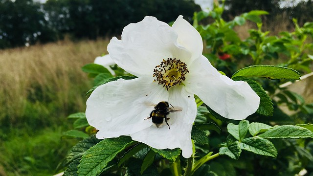 Closeup of white Rosa rugosa flower with bumblebee in centre