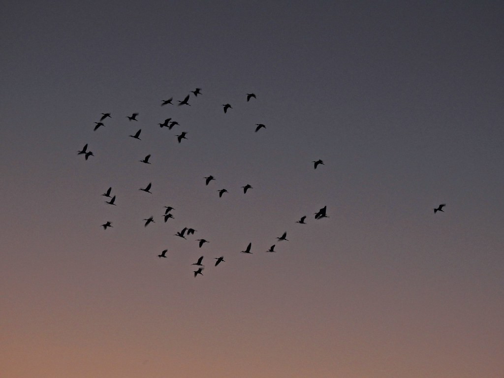 Sunset Flock