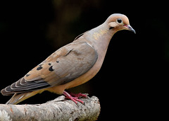 Profile of the Mourning Dove.