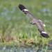 Nacunda Nighthawk (3 of 5) by tickspics 