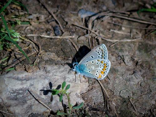 Silver-Studded Blue / Argus-Bläuling