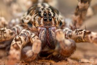 Wandering spider (Vulsor sp.) - DSC_2100