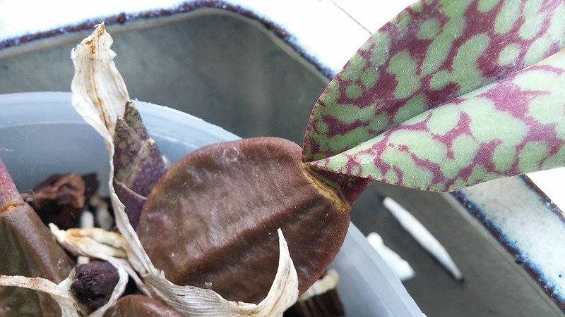 Les orchidées chez Sougriwa - Page 8 42495235130_7db81101d4_c