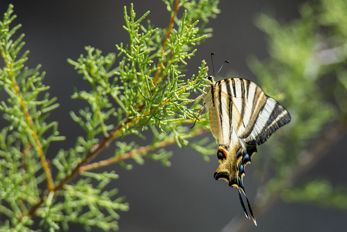 Iberian scarce Swallowtail page - Iphiclides feisthamelii - Spaanse koningspage
