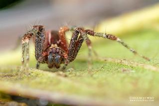 Nursery web spider (Pisauridae) - DSC_7936