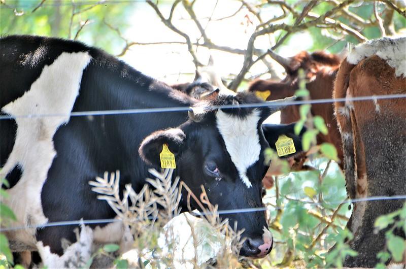 Cows 19.08 (5)