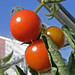 Red Tomatoes and Blue Sky:    244/365