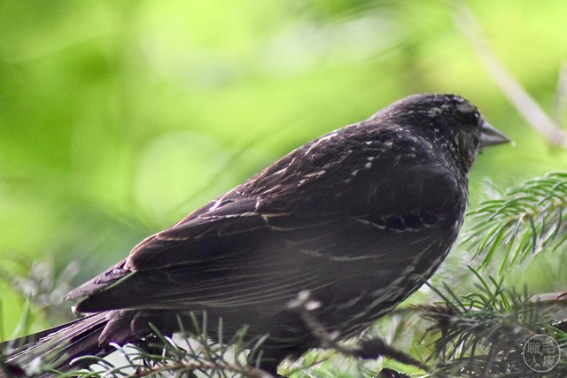 Female Red-winged Blackbird?