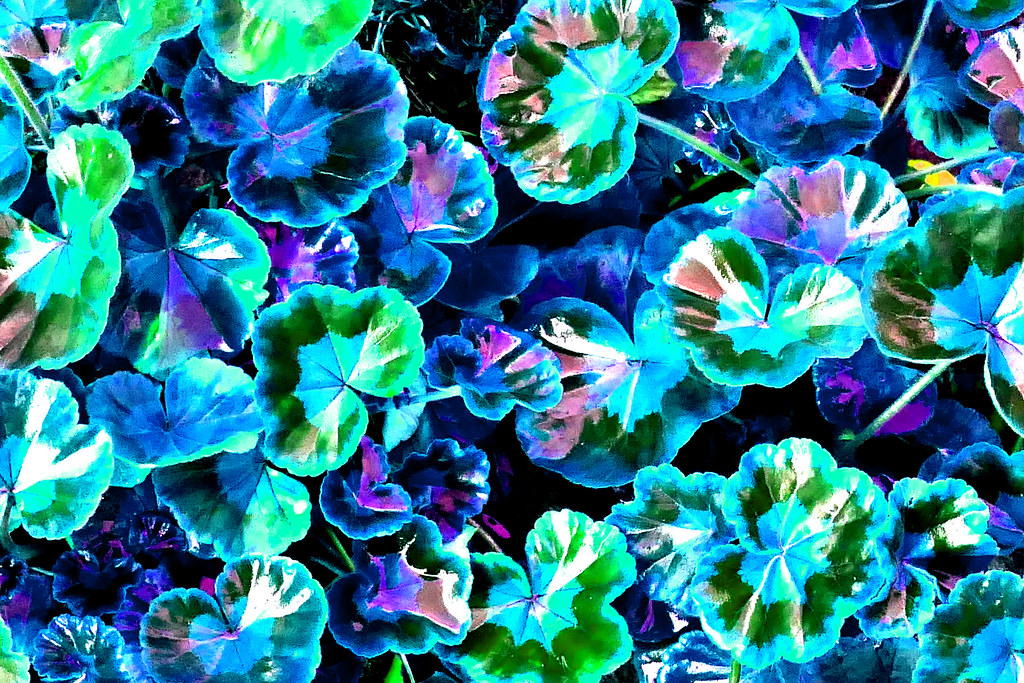 yer pelergonium blue