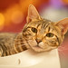 domestic short-haired cat 3 by Yuya Tanaka