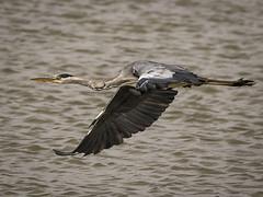 Grey Heron (Ardea cinerea) _J3A0738