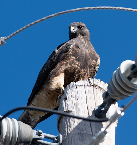 swainsons_hawk_on_pole-20180901-138
