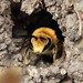 Burrowing Bees