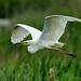 Great White Egret Ham Wall F00362 D210bob  DSC_2236