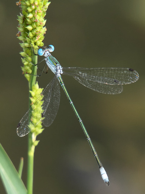 Rainpool Spreadwing, Canon EOS 7D, Sigma 50-500mm f/4-6.3 APO HSM EX