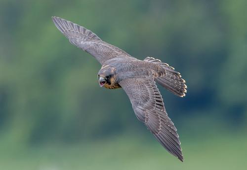 DSC7932  Peregrine Falcon..