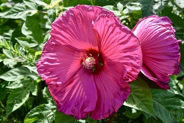 Hibiscus / Rose-mallow