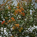 Common Whitebeam - Sorbus aria