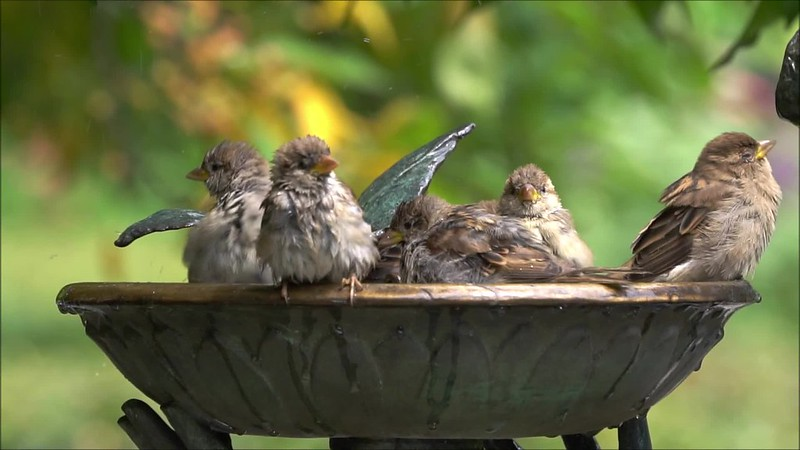 Bird Bath Slow Motion 082518 Clip 800011783