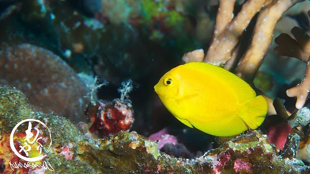 ヘラルゴコガネヤッコ幼魚ちゃん♪