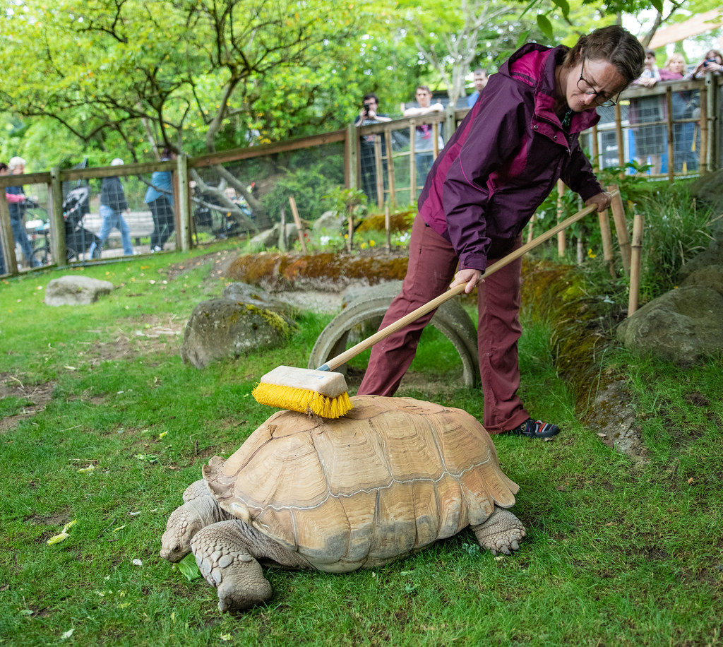 African Spurred Tortoise_A_23