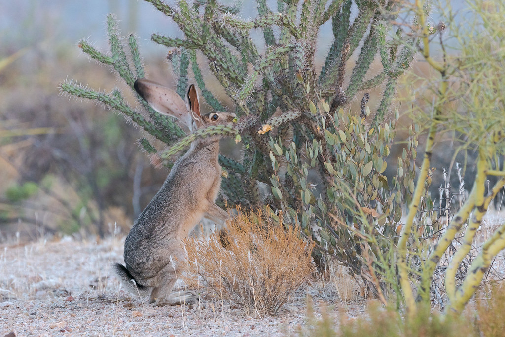 A black-tailed jackrabbit eats from a buckhorn cholla at the Brown's Ranch Trailhead in McDowell Sonoran Preserve
