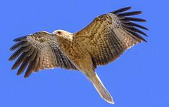 alice river - whistling kite