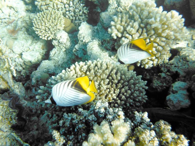 Нитепёрая рыба-бабочка (Chaetodon auriga)DSCF5033