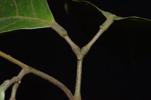 Archidendron whitei DSC_0732 (4)