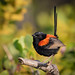 Red-backed Fairywren (M) by strictfunctor