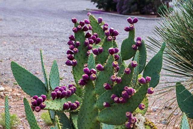 Cactus-17-7D1-082518