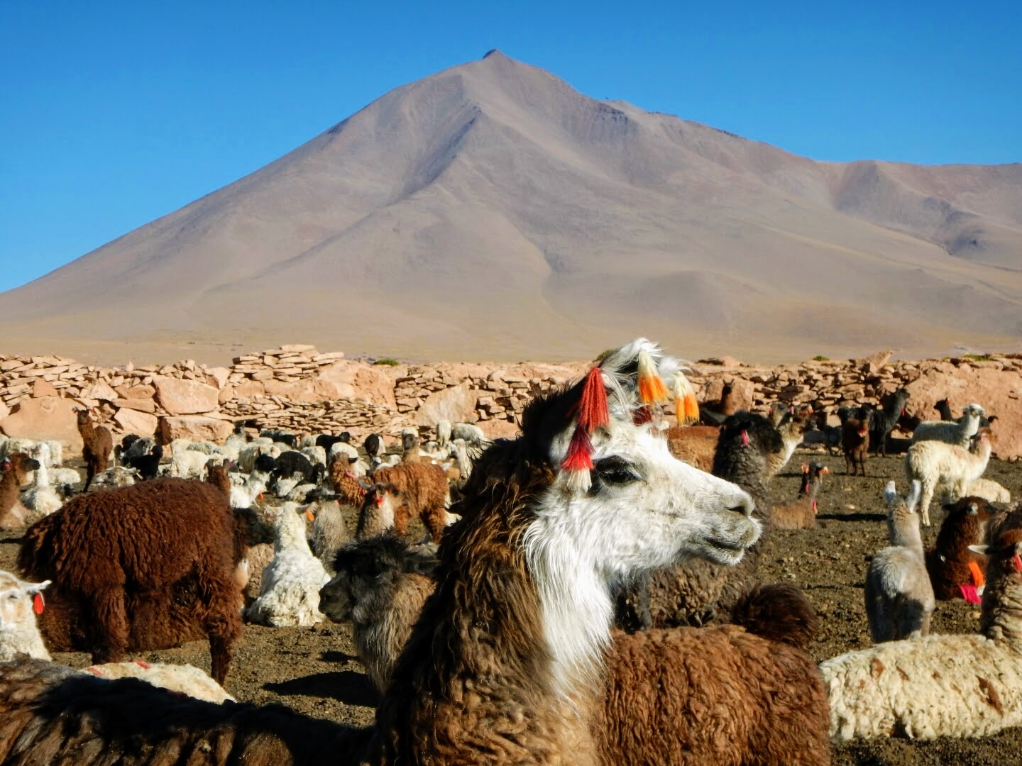 A llama chilling out in front of a mountain