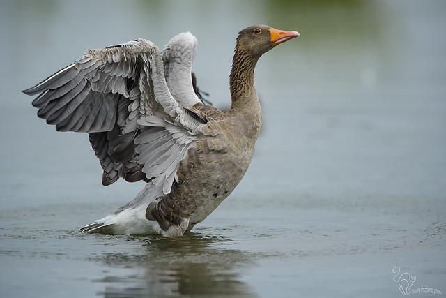 Anser anser, greylag goose, Nikon D4S, AF-S VR Nikkor 400mm f/2.8G ED
