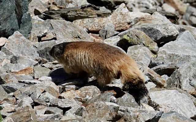 Alpine marmot, scurrying away