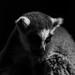 One beautiful Lemur.
