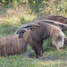 Giant Anteater and baby by Tris Enticknap