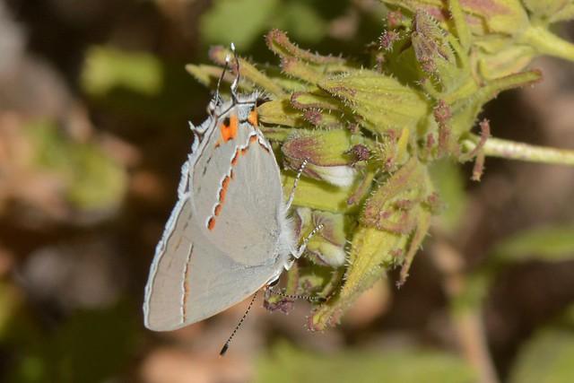 Gray Hairstreak butterfly on native Bird's Beak flowers - at home