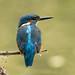Kingfisher by Matt Hazleton