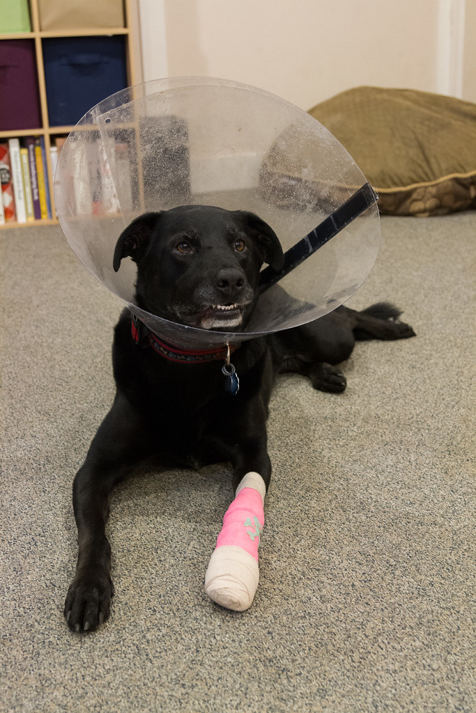 Our dog Ellie grins with a protective Elizabethan collar around her head and a pink bandage on her leg
