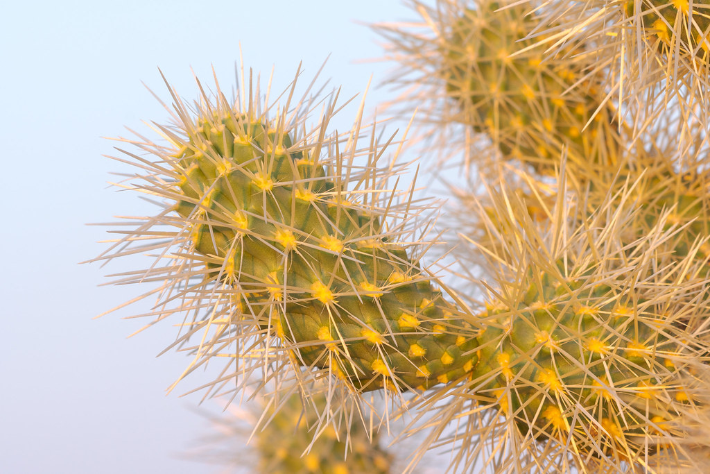 A close-up view of the spine of a teddy bear cholla along the Chuckwagon Trail in McDowell Sonoran Preserve
