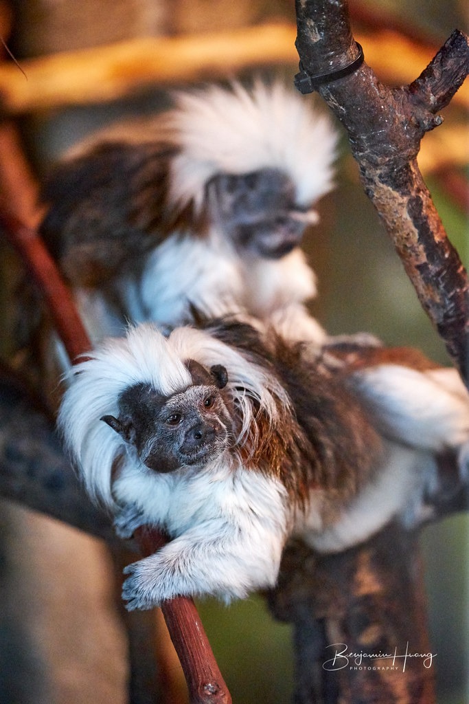 Central Park Zoo Tamarins