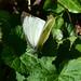 Large Whites in Lasswade