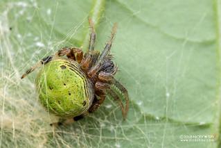 Orb weaver spider (cf. Araneus sp.) - DSC_0275