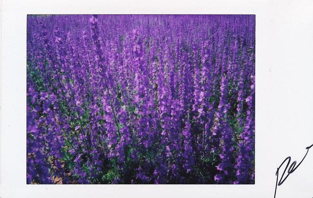 """Fujitivas_64 """" Purple Spring """""""
