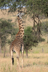 Masai giraffe with oxpeckers