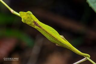 Perinet chameleon (Calumma gastrotaenia) - DSC_0523