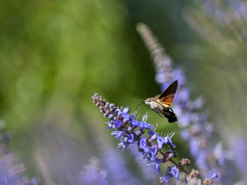 Esfinge colibrí II 42573592840_1416d7da6b_b